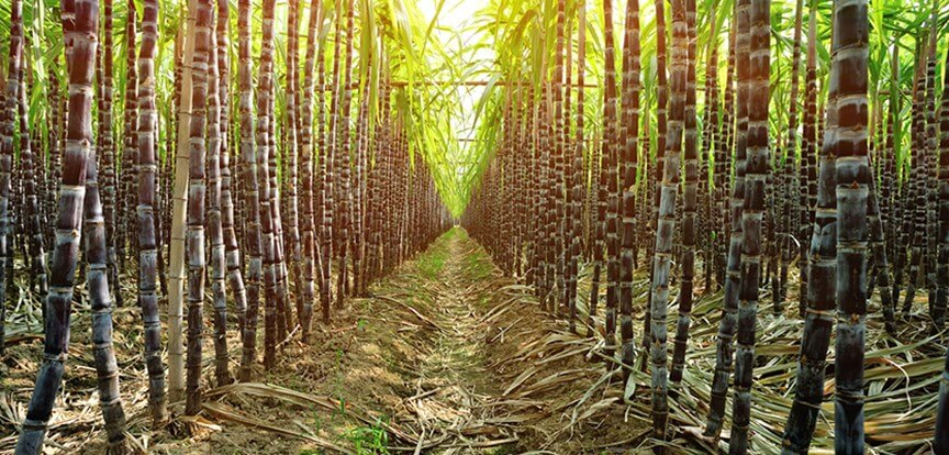 sugarcane plantation used for rum production